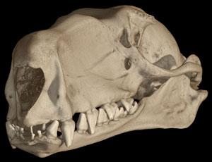 http://www.digimorph.org/specimens/Hypsignathus_monstrosus/male/story1thumb.jpg