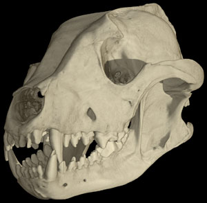 http://www.digimorph.org/specimens/Lycaon_pictus/male/story1thumb.jpg