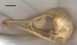 Struthio skull - lateral view